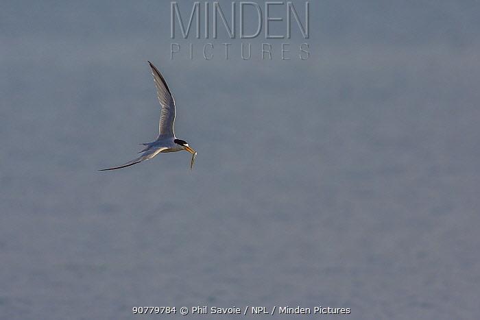Least tern (Sternula antillarum) in flight with fish in beak, Cape Cod, Massachusetts, USA.