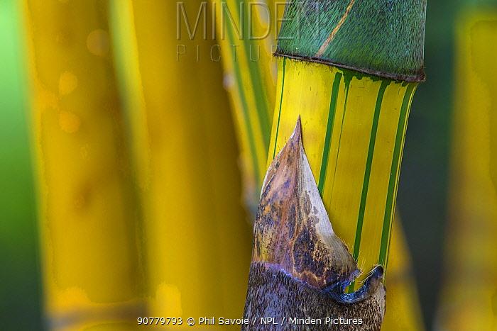 Bamboo (Guadua angustifolia) 'Bicolor' stem detail, Costa Rica.