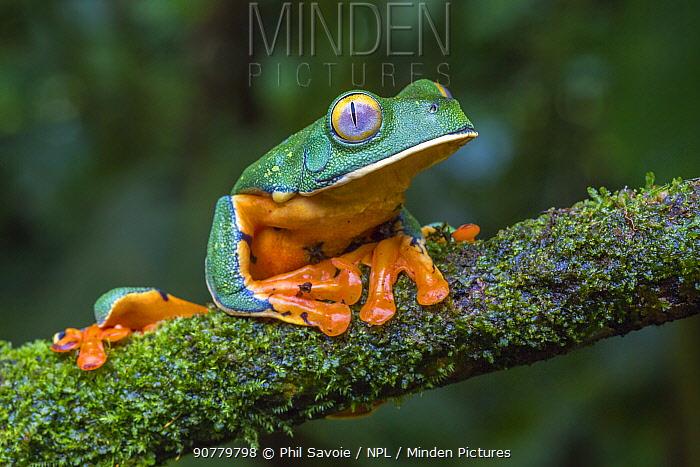 Splendid leaf frog (Cruziohyla calcarifer) La Selva Field Station, Costa Rica.