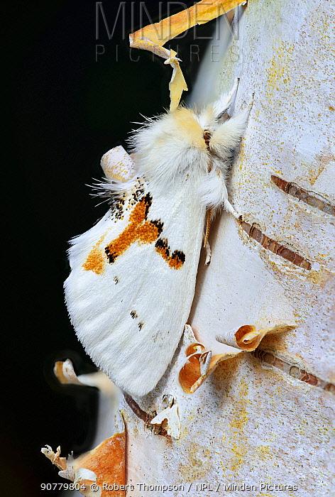 White prominent moth (Leucodonta bicoloria) County Kerry, Ireland.