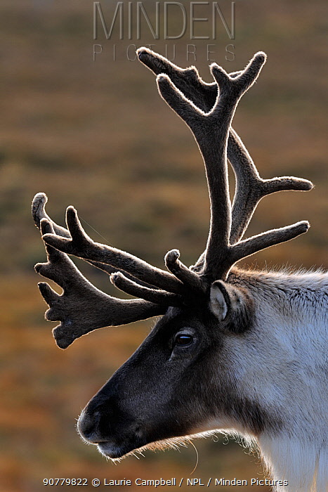 Reindeer (Rangifer tarandus) bull reindeer with antlers in velvet, reintroduced Cairngorm Reindeer Herd, Cairngorm National Park, Speyside, Scotland, October