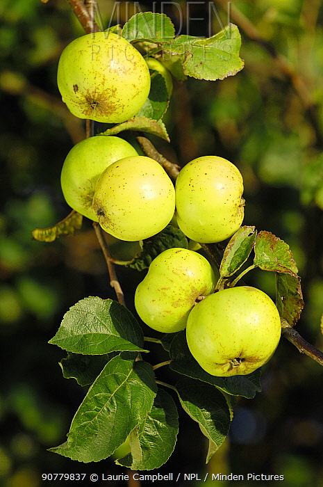 Crab apples (Malus sylvestris) growing in hedgerow, Berwickshire, Scotland, October.
