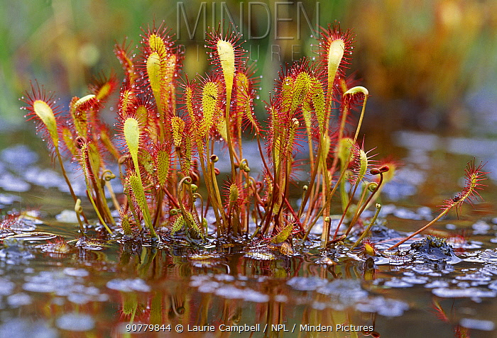 Great sundew (Drosera anglica) growing in a bog at the Beinn Eighe National Nature Reserve, Wester Ross, Scotland, July.