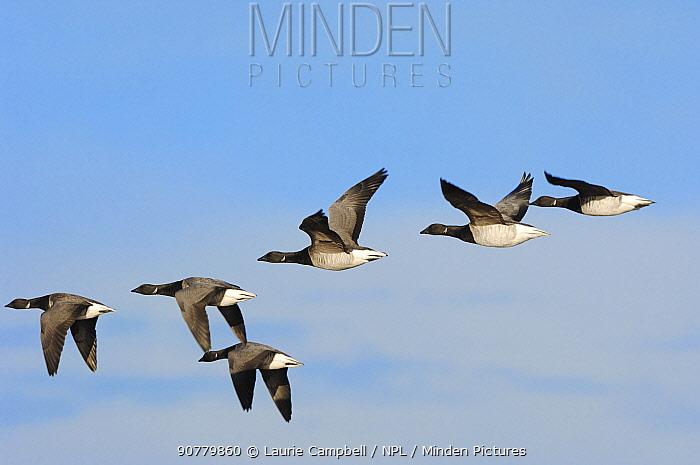 Pale-bellied brent geese (Branta bernicla hrota) over wintering, Lindisfarne NNR, Northumberland, England, December.
