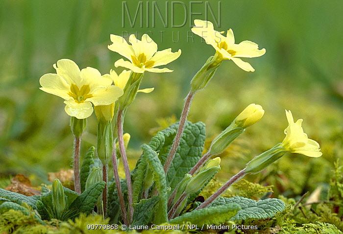 Primrose (Primula vulgaris)  flowers in decidious woodland, Berwickshire, Scotland, April.