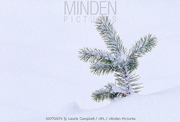 Scots Pine (Pinus sylvestris) tree  seedling in snow, Abernethy Forest RSPB Reserve, Cairngorm National Park, Strathspey, Scotland, December.