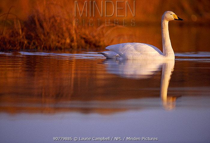 Whooper Swan (Cygnus cygnus) male on moorland loch, Isle of Skye, Hebrides, Scotland, December.