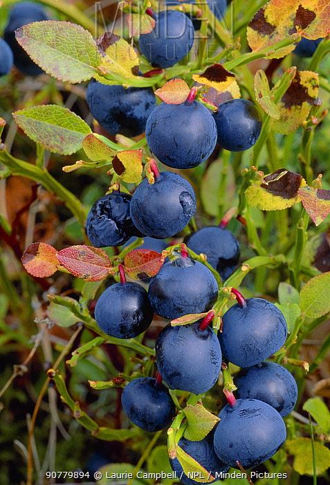 Blaeberry / Bilberry (Vaccinium myrtillus) fruits, Ben Lawers, National Trust for Scotland Property, Perthshire, Scotland, August.