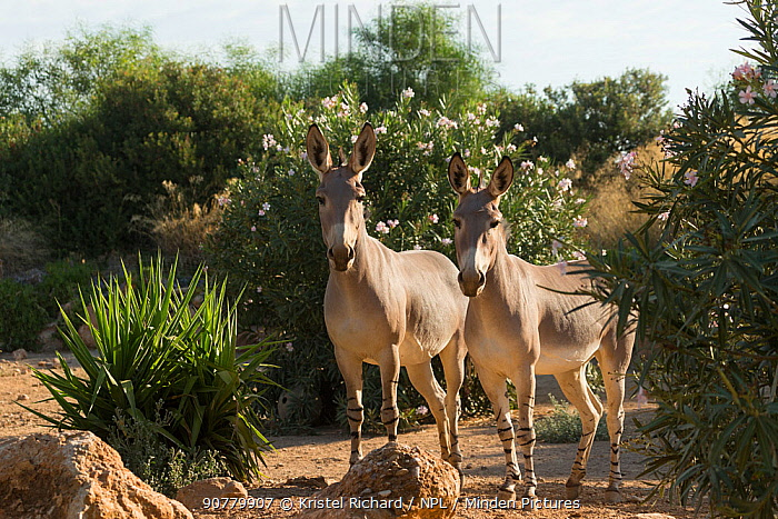 Two critically endangered Somali wild asses (Equus africanus somaliensis) standing alert, captive.