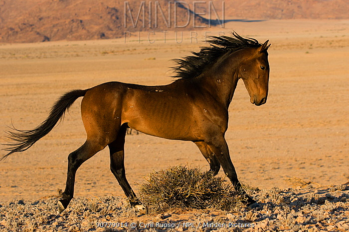 Feral Horse (Equus caballus) stallion displaying, Namib-Naukluft National Park, Namibia.