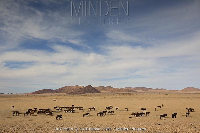 Feral Horse (Equus caballus) band, Namib-Naukluft National Park, Namibia.