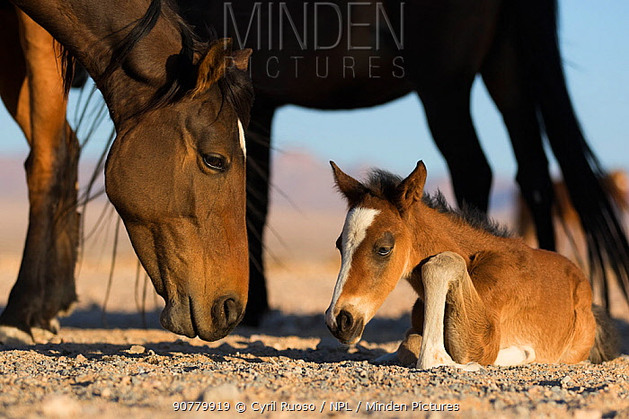 Feral Horse (Equus caballus) mare and foal few days old.   Namib-Naukluft National Park, Namibia