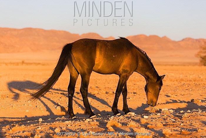 Feral Horse (Equus caballus) grazing, Namib-Naukluft National Park, Namibia