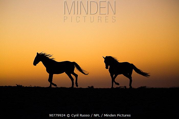 Feral Horses (Equus caballus) silhouetted at dusk,                    Namib-Naukluft NP, Namibia.