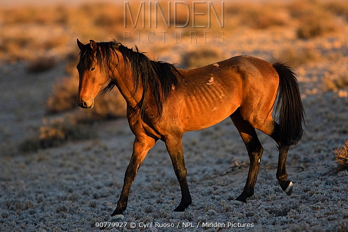 Feral Horse (Equus caballus)  Namib-Naukluft NP, Namibia.