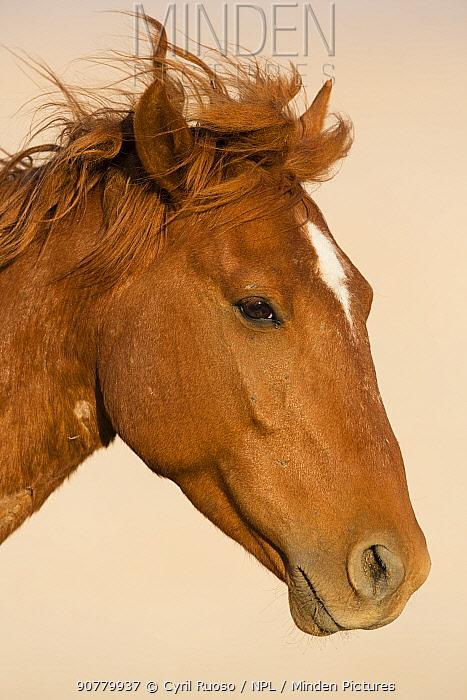 Feral Horse (Equus caballus) portrait, Namib-Naukluft NP, Namibia.