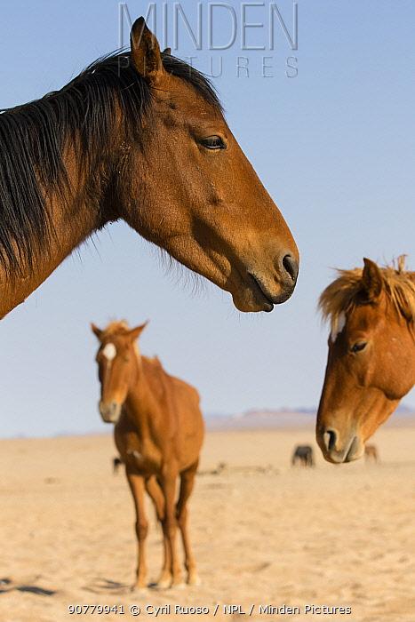 Feral horses (Equus caballus) Namib-Naukluft NP, Namibia.