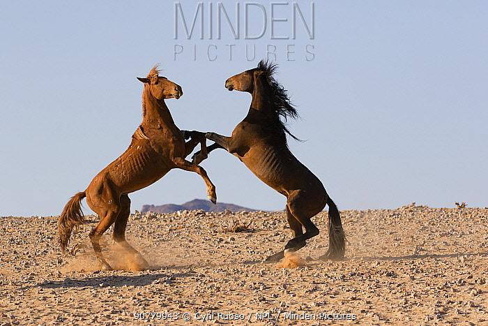Feral Horse (Equus caballus) fight between stallions, Namib-Naukluft National Park, Namibia.