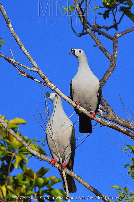 Spice imperial pigeon (Ducula myristicivora) two perched, Raja Ampat, Western Papua, Indonesian New Guinea