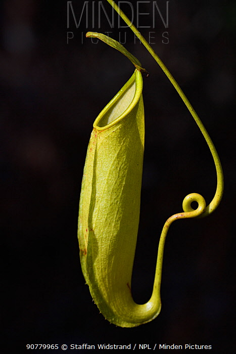 Pitcher plant (Nepenthes), Misool, Raja Ampat, Western Papua, Indonesian New Guinea