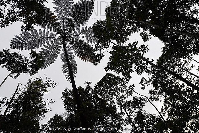 Tree fern (Cyatheales sp)  silhouetted in montane rainforest, near FakFak, Mainland New Guinea, Western Papua, Indonesian New Guinea