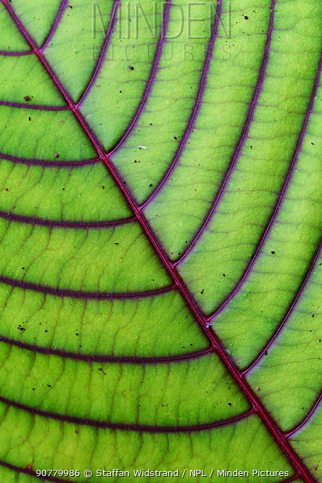 Close up of leaf from montane rainforest with distinct veins, Mainland New Guinea, Western Papua, Indonesian New Guinea