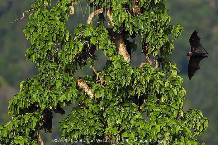 Flying fox colony (Pteropus sp) In the lowland rainforest, Kumawa Peninsula, Mainland New Guinea, Western Papua, Indonesian New Guinea