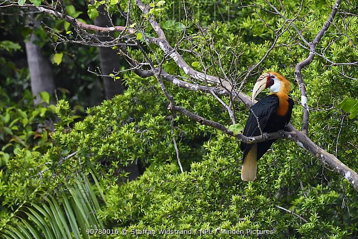 Papuan / Blyth's hornbill (Rhyticeros plicatus) in tree, Triton Bay rainforest, Mainland New Guinea, Western Papua, Indonesian New Guinea