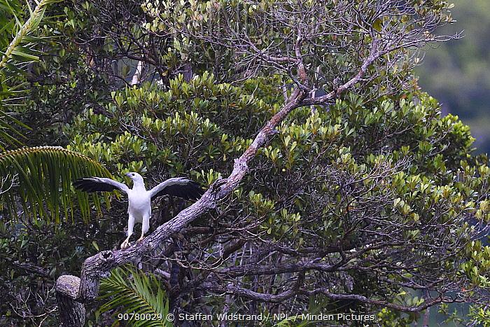 White-bellied sea eagle, (Haliaeetus leucogaster), Triton Bay, Mainland New Guinea, Western Papua, Indonesian New Guinea