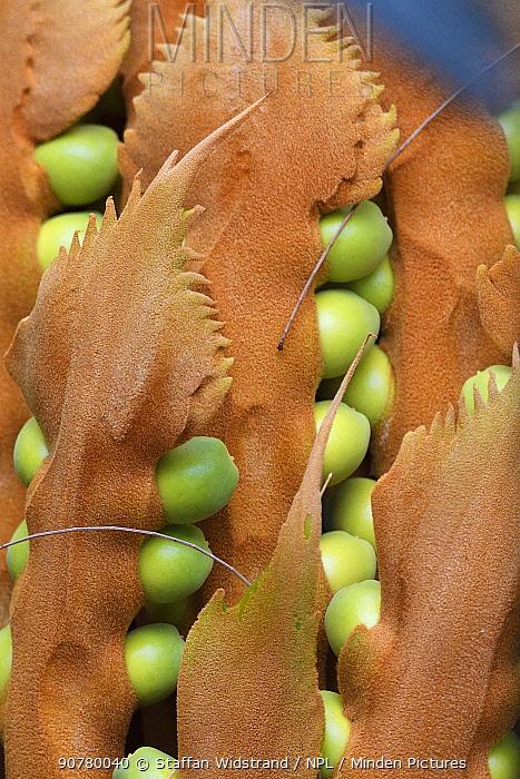 Cycad palm tree fruits, Lowland rainforest, Karawawi River, Kumawa Peninsula, mainland New Guinea, Western Papua, Indonesian New Guinea.