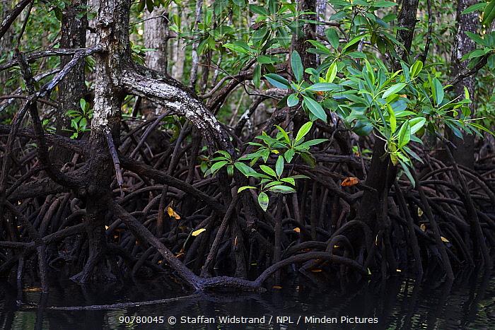 Red Mangrove (Rhizophora mangle) forest in Batenta Island, Raja Ampat, Western Papua, Indonesian New Guinea.