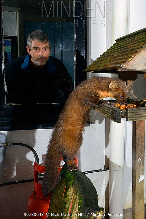 Young male Pine Marten (Martes martes) feeding on fruit cake on a bird table at a guest house at night, watched by a guest, Knapdale, Argyll, Scotland, October. Photographed using a remote camera. Model and property released.
