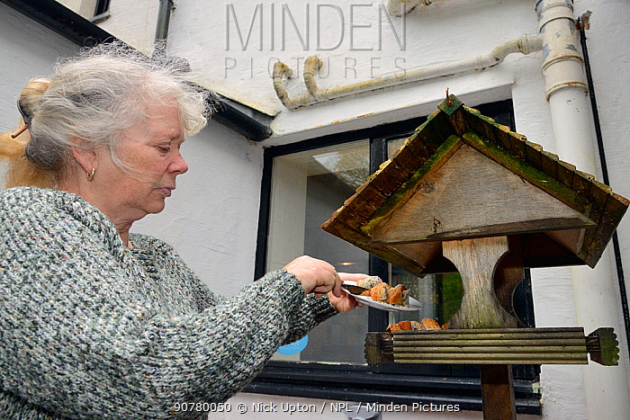 Lynn Laws placing cake on the bird table at her guest house for visiting Pine martens (Martes martes) to feed on, Knapdale, Argyll, Scotland, October. Photographed using a remote camera. Model and property released.