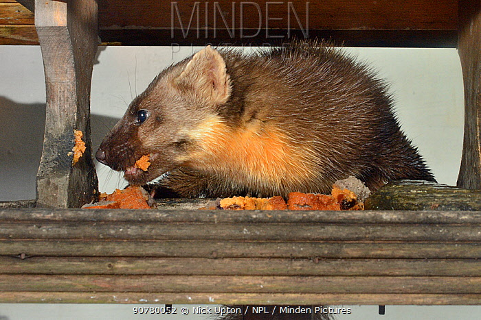 Adult female Pine Marten (Martes martes) feeding on fruit cake on a bird table at a guest house at night, Knapdale, Argyll, Scotland, October. Property released.