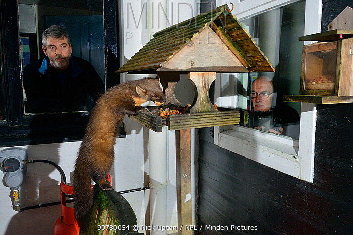 Young male Pine Marten (Martes martes) feeding on fruit cake on a bird table at a guest house at night, watched by two guests, Knapdale, Argyll, Scotland, October. Photographed using a remote camera. Model and property released.