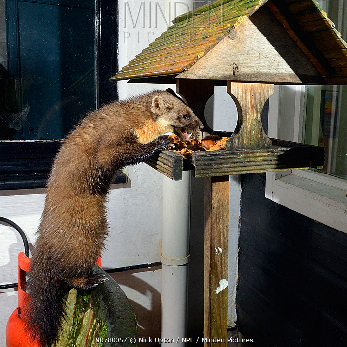 Adult female Pine Marten (Martes martes) feeding on fruit cake on a bird table at a guest house at night, Knapdale, Argyll, Scotland, October. Photographed using a remote camera trap. Property released.