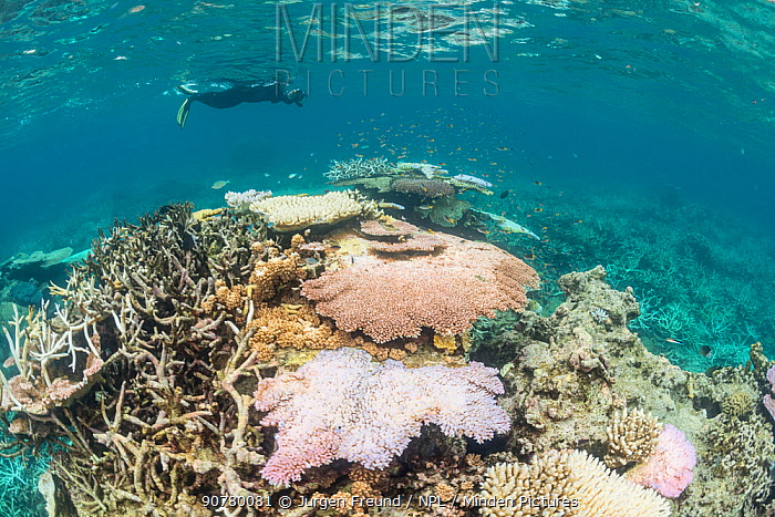 Snorkeler videos the coral bleaching in the northern Great Barrier Reef. On 10 March 2017 the Great Barrier Reef Marine Park Authority confirmed mass coral bleaching is occurring on the Great Barrier Reef for the second consecutive year, Great Barrier Reef, Queensland, Australia March 2017.