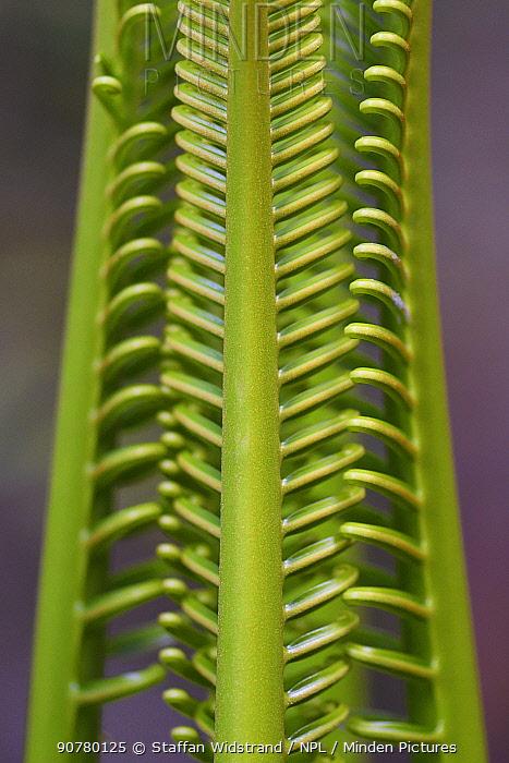 Cycad palm leaves, Wayag, Raja Ampat, Western Papua, Indonesian New Guinea.