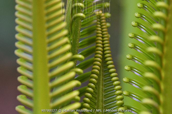 Cycad palm leaves,  Raja Ampat, Western Papua, Indonesian New Guinea.
