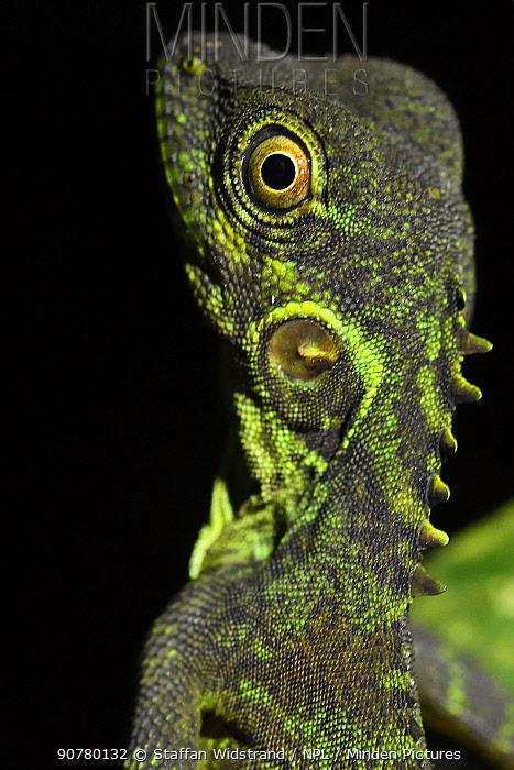 Forest dragon lizard (Hypsilurus) Batenta Island, Raja Ampat, Western Papua, Indonesia.