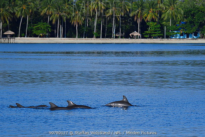 Indo-Pacific bottlenose dolphin (Tursiops aduncus), off the coast of Raja Ampat, Western Papua, Indonesia