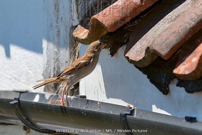 House sparrow (Passer domesticus) female hopping up from a roof gutter to its nest entrance under old tiles with insect prey for its chicks, Wiltshire, UK, June.