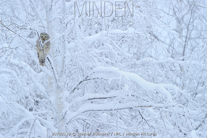 Ural owl (Strix uralensis) perched in snow covered tree,  Oulanka National Park, Finland, February