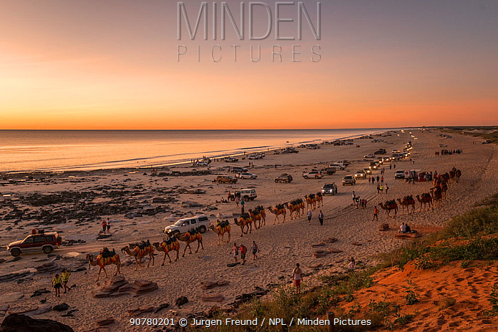 Cable Beach at sunset with people riding Dromedary camels (Camelus dromedarius) and many vehicles driving along the beach, Broome, Western Australia. July 2016.