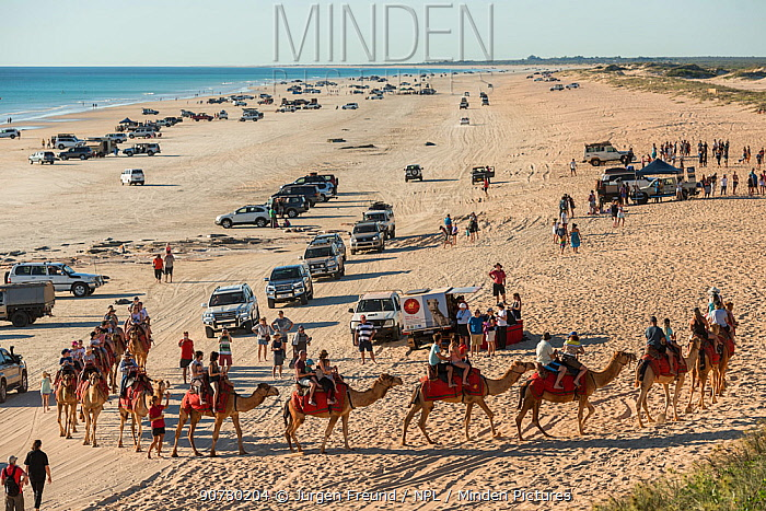 Cable Beach with people riding Dromedary camels (Camelus dromedarius) and many vehicles driving along the beach, Broome, Western Australia. July 2016.