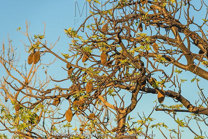 Boab tree / Australian baobab (Adansonia gregorii) full of seeds, Kimberley, Western Australia, Australia June 2016.