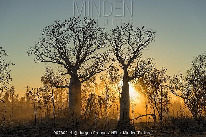 Morning light streaming through a silhouetted Boab tree / Australian baobab (Adansonia gregorii) Kimberley, Western Australia, Australia June 2016.