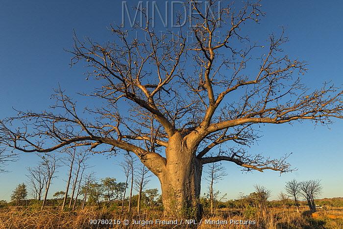 Boab tree / Australian baobab (Adansonia gregorii) Kimberley, Western Australia, Australia June 2016.