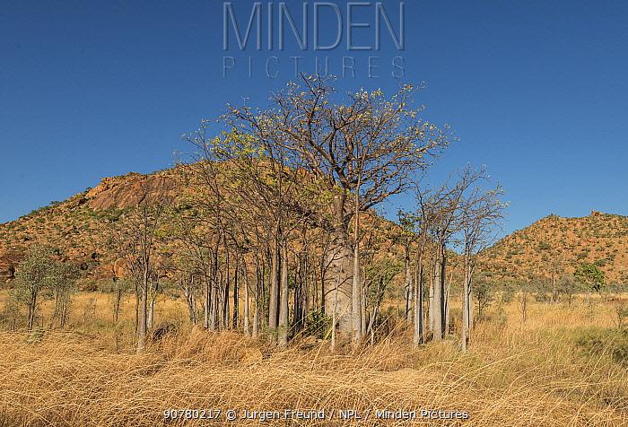Boab tree / Australian baobab (Adansonia gregorii) Kimberley, Western Australia, Australia