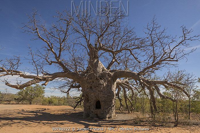 The 'Prison' Australian baobab  /  Boab' tree (Adansonia gregorii) which was used to lock up prisoners, Wyndham. Kimberley, Western Australia. August 2016.